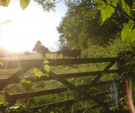 Horses on a summer's evening